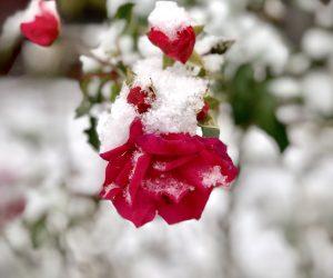 rose im Schnee_web